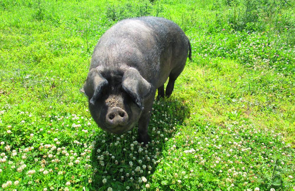 stanleys-farm-fun-animals-pig