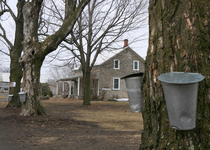 maple trees tapped with buckets