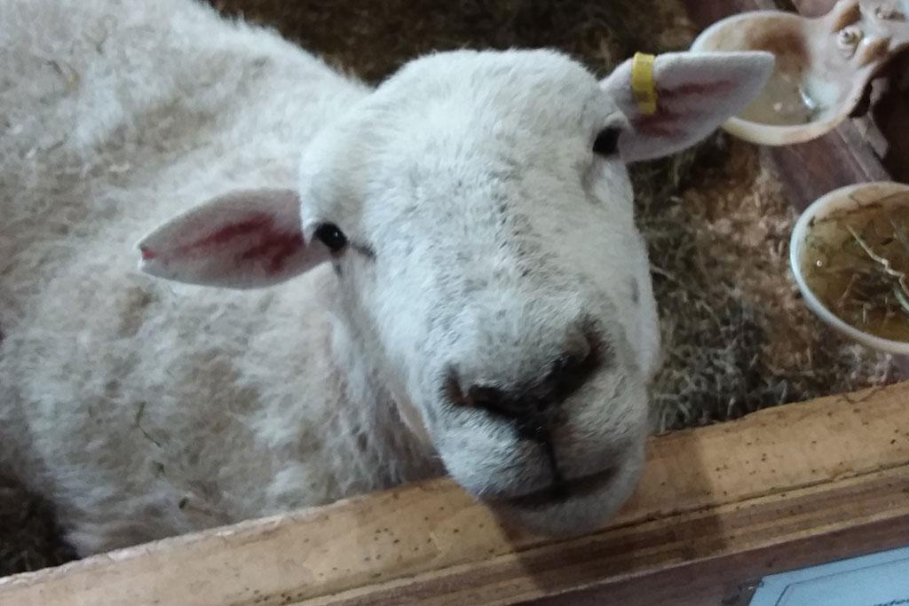 slagon_sheep